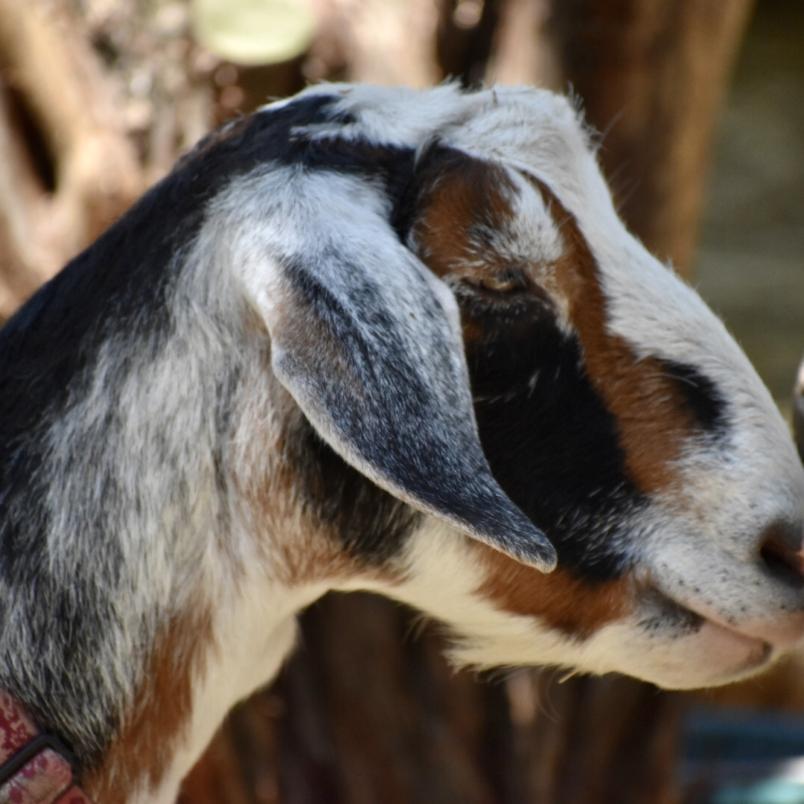 Goat Trails Pixie