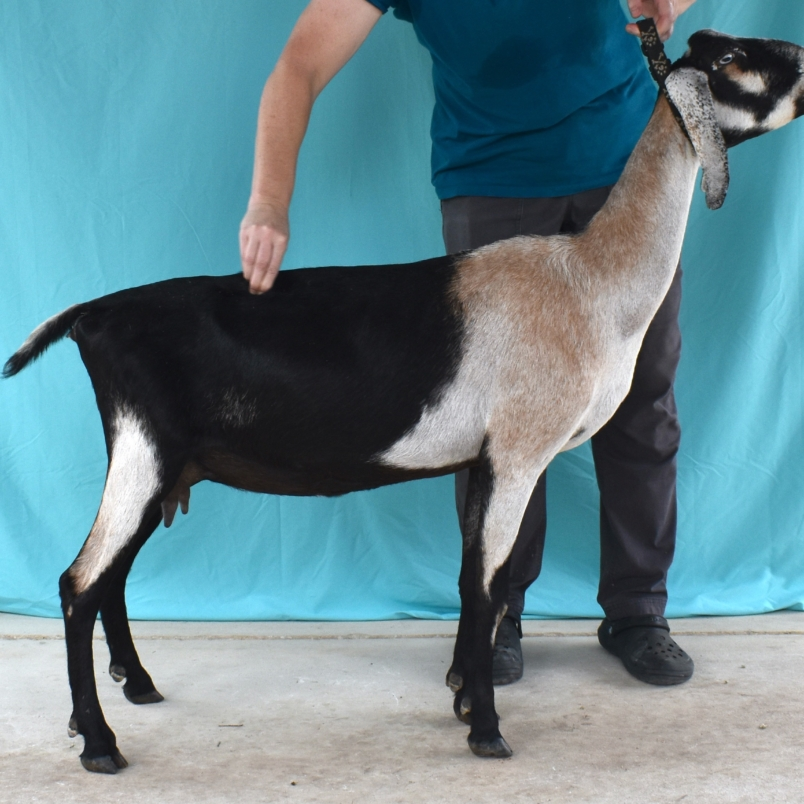 """Nomad Once in a Blue Moon """"Clair"""" - Mini Nubian Doe"""
