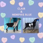 View 2021 Clair x Memphis Blue