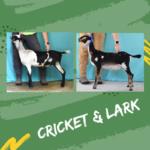 View 2021 Cricket x Lark