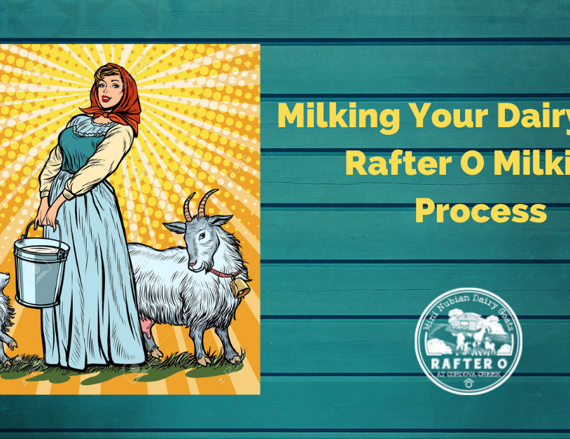 Blog: Milking Your Dairy Goat: Rafter O Milking Process
