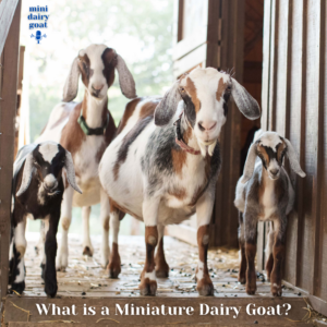 What is a Miniature Dairy Goat?