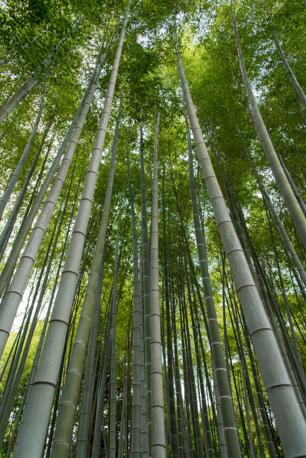tallest bamboo for sale