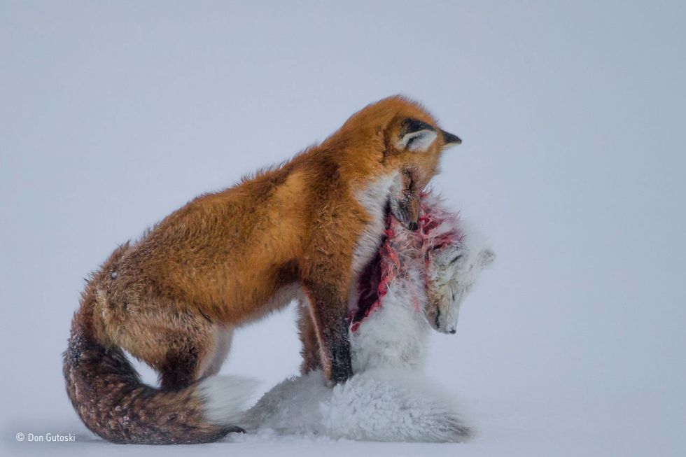 Historia de dos zorros, de Don Gutoski, ganadora del Wildlife Photographer of the Year 2015