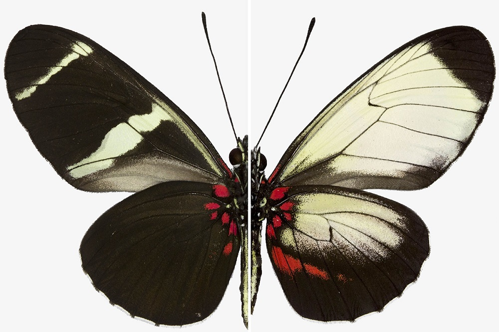 Comparativo de mariposa orginal y modificada genéticamente- Richard Wallbank, Smithsonian Institution and University of Cambridge