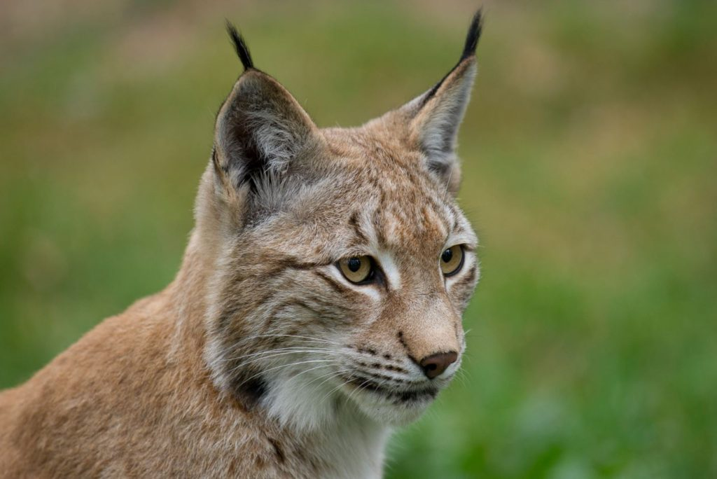 Lince europeo- Ralph Frank, WWF