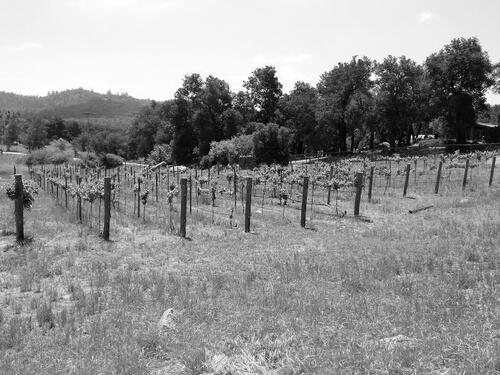 Vineyard Pic