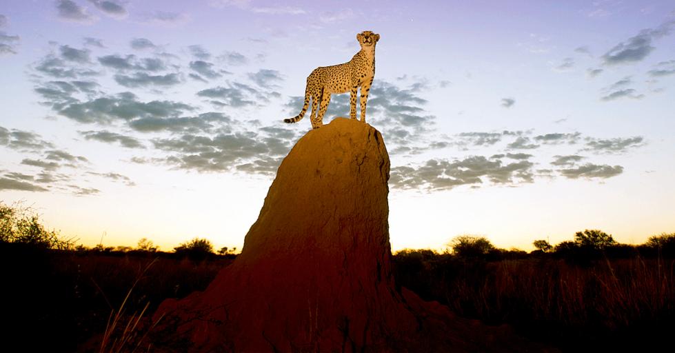 Cheetah on termite mound in Namibia