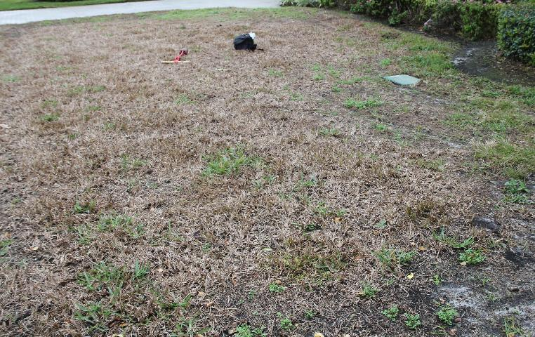 St. Augustine grass Lawn infected by Sugarcane Mosaic Virus, in Pinellas County, Florida. Source: University of Florida