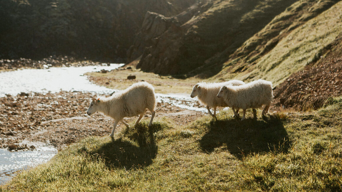 Wild sheep walking to river