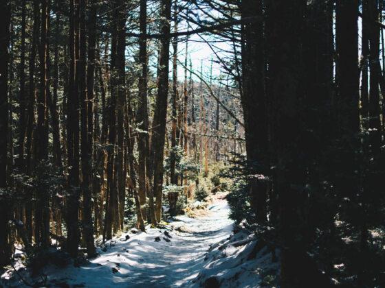 Snowy path through tall pine forest