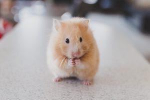 medication for hamster