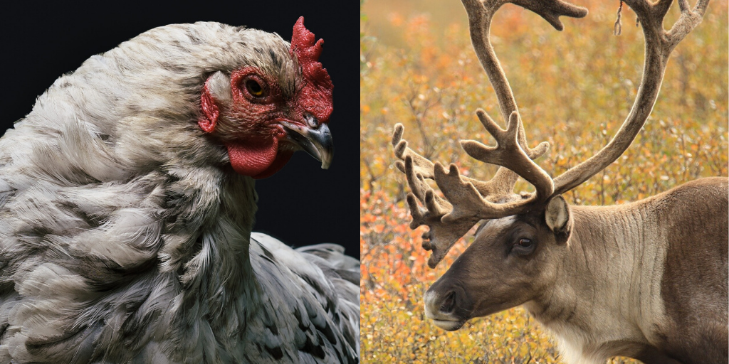 Read the Room: Be the Caribou, Not the Chicken