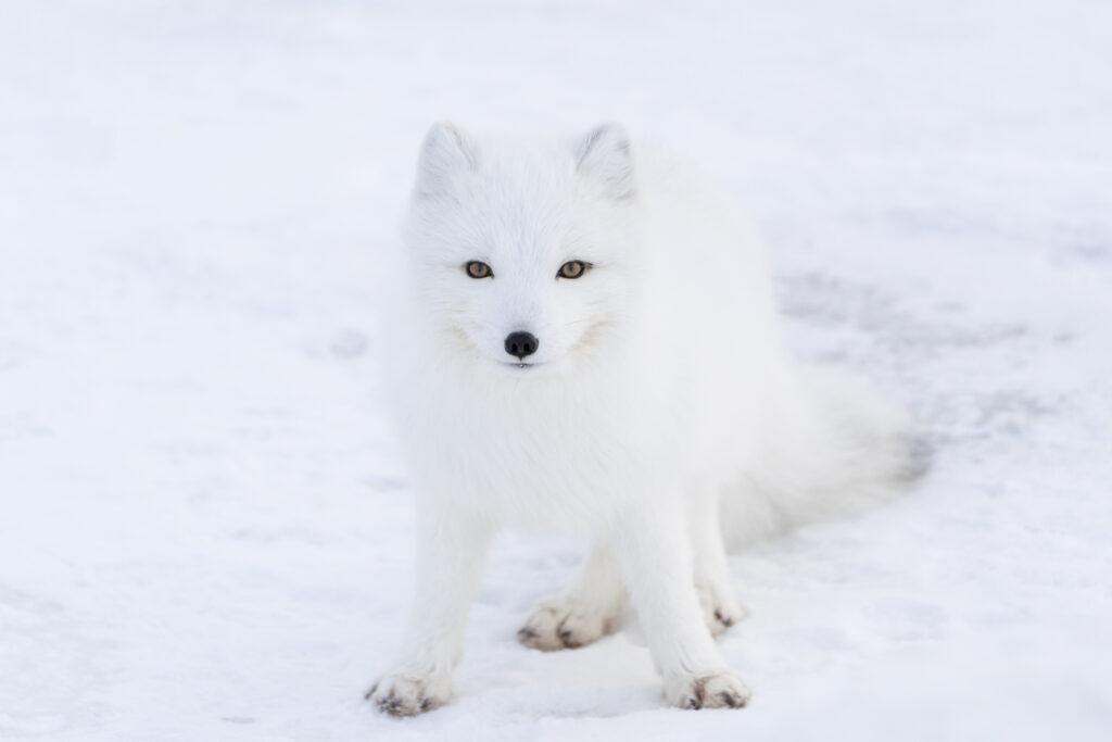 A white arctic fox on snow