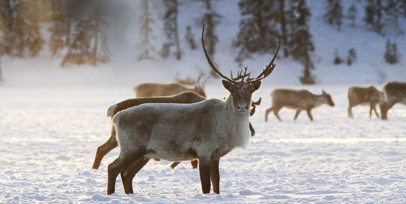 A herd of reindeer crossing a snowy field