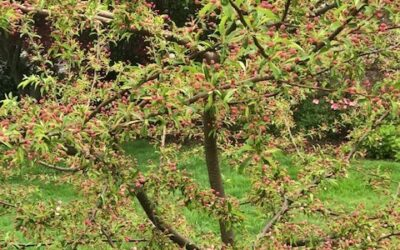 Assurances from the Crabapple Tree