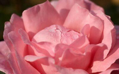 'Til Each Tear Becomes a Rose