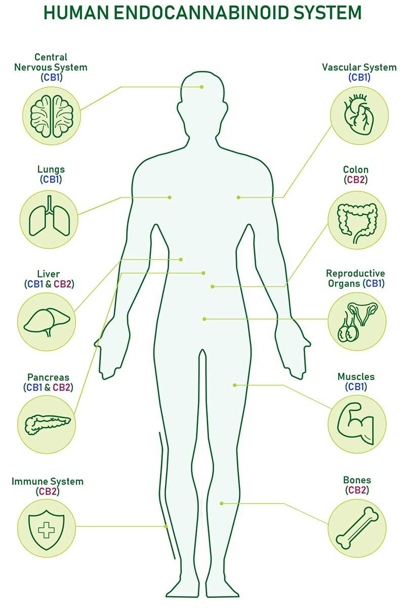 Human Endocannabinoid System (ECS)