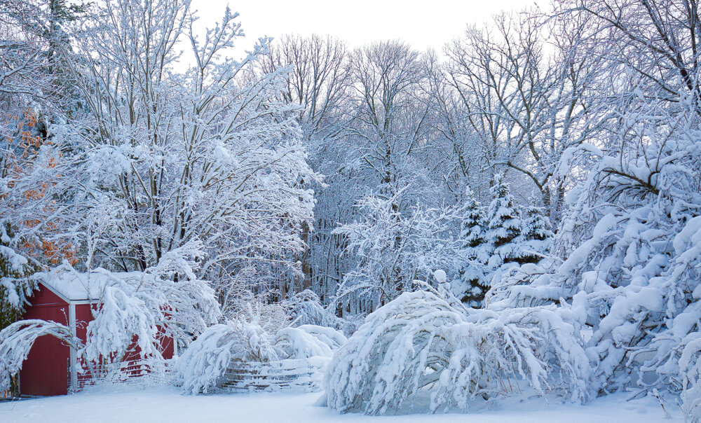 Nor'easter Damage to Ornamental Trees and Shrubs