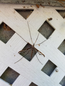 Crane fly attached to lattice work - Bee Smart Pest Control in Connecticut provided extermination service