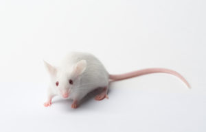 A white mouse with white background