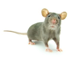 Rat with white background