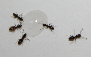 Odorous house ant are a invasive species. They leave a rotting coconut smell when squished.