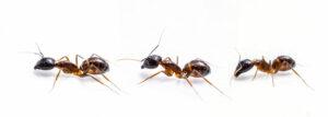 Ants walking on white background