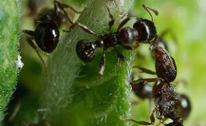Pavement ant and other ant extermination services