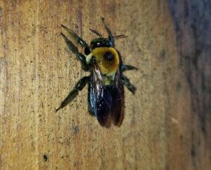 Carpenter bee after emerging for spring. Pest Control for Carpenter Bees