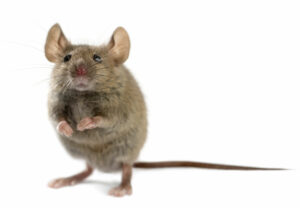 Mouse Removal Service in Connecticut
