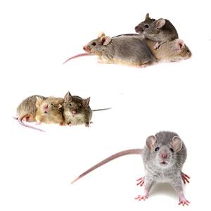 Mice & Rat Exterminator