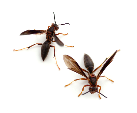Pest Control: Pest Control Services for wasps