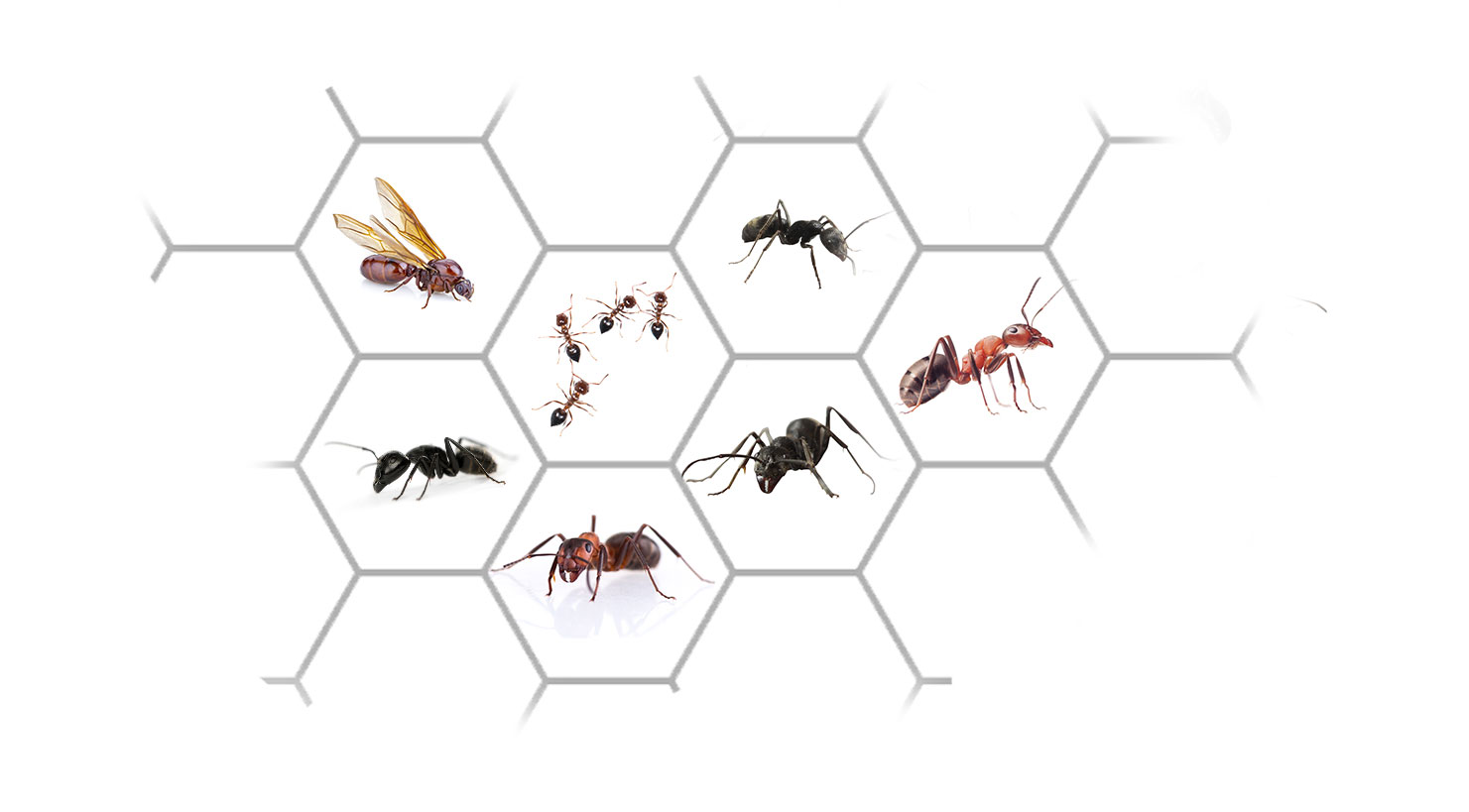 Ant Control Services: Exterminator For Ants In Connecticut