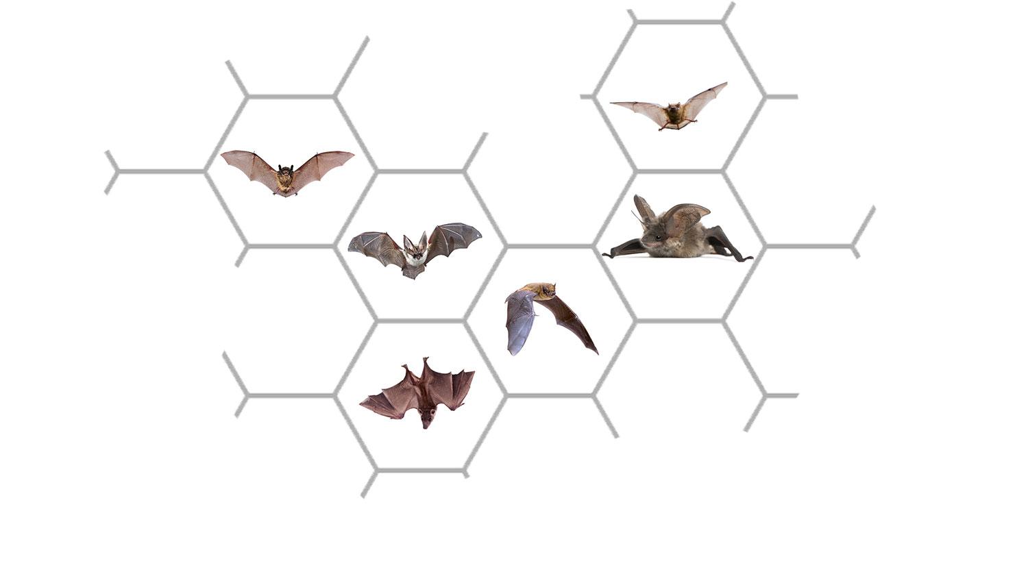 Bat Control Service: Bat Exclusion