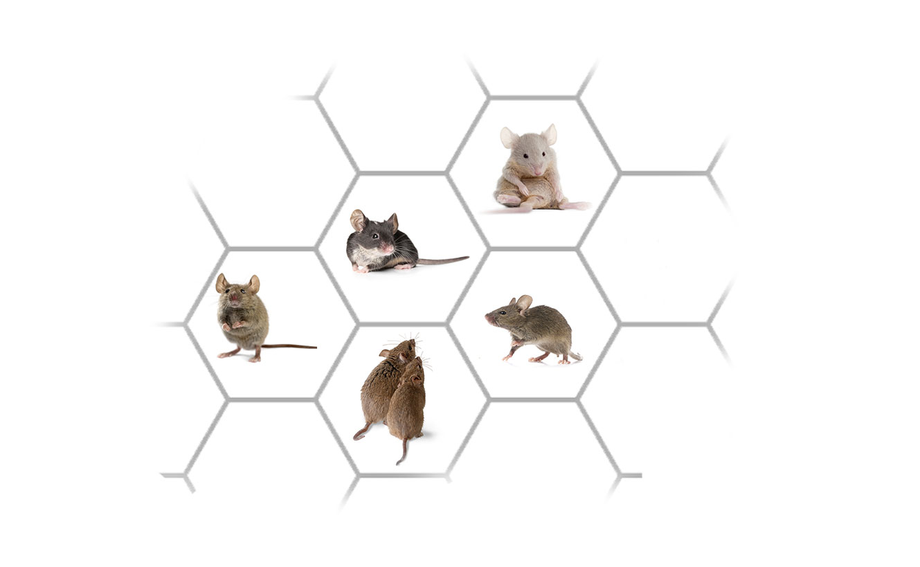 Mouse Control Services: Mouse Exterminator In Connecticut