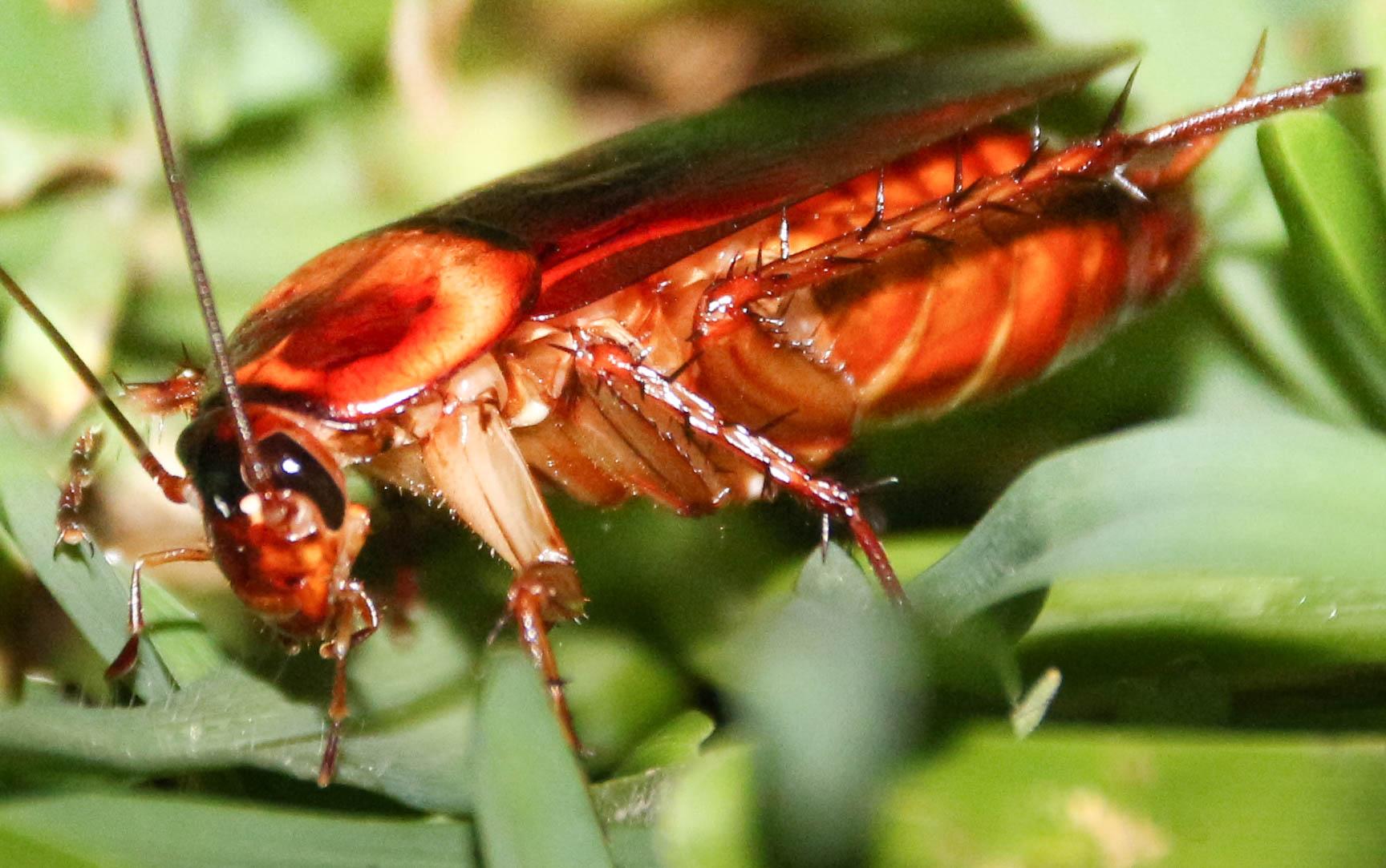 cockroach in taree