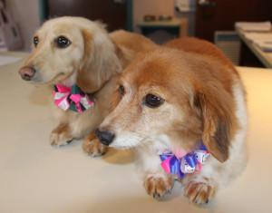 dachshund grooming