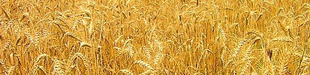 golden fields of wheat stalks