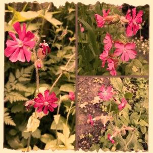 Red Campion Flowers at Plessey Woods, Northumberland