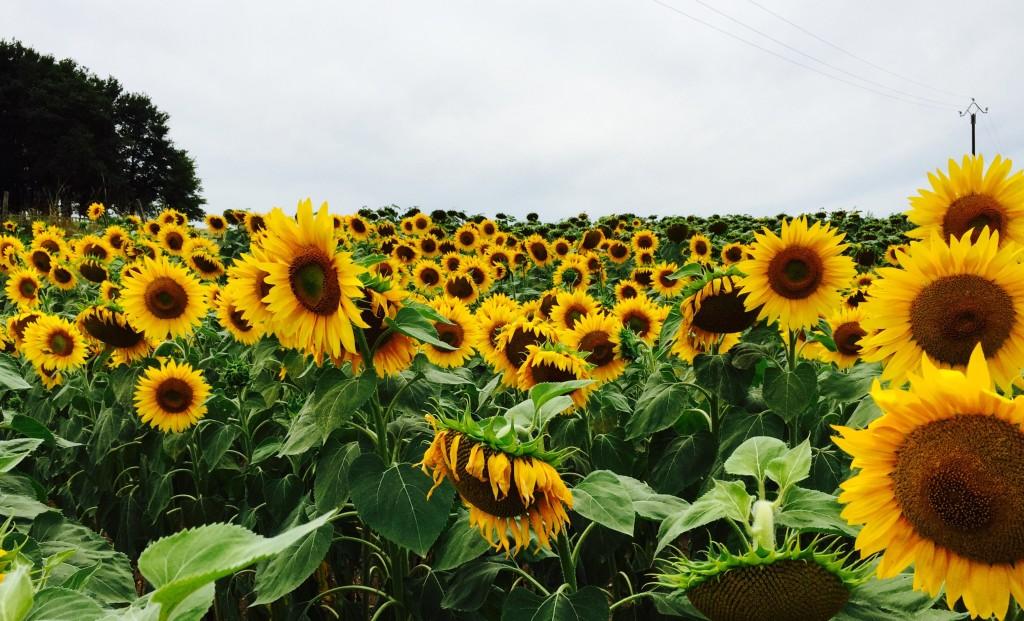 Sunflower field.  Francueil, France July 2015