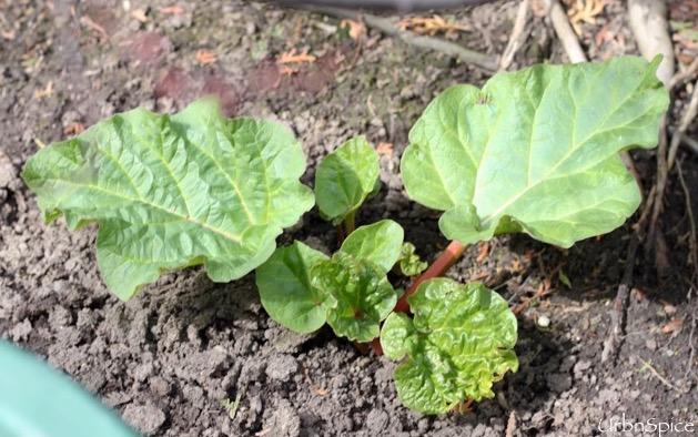 Emerging Rhubarb Plant in Springtime | urbnspice.com