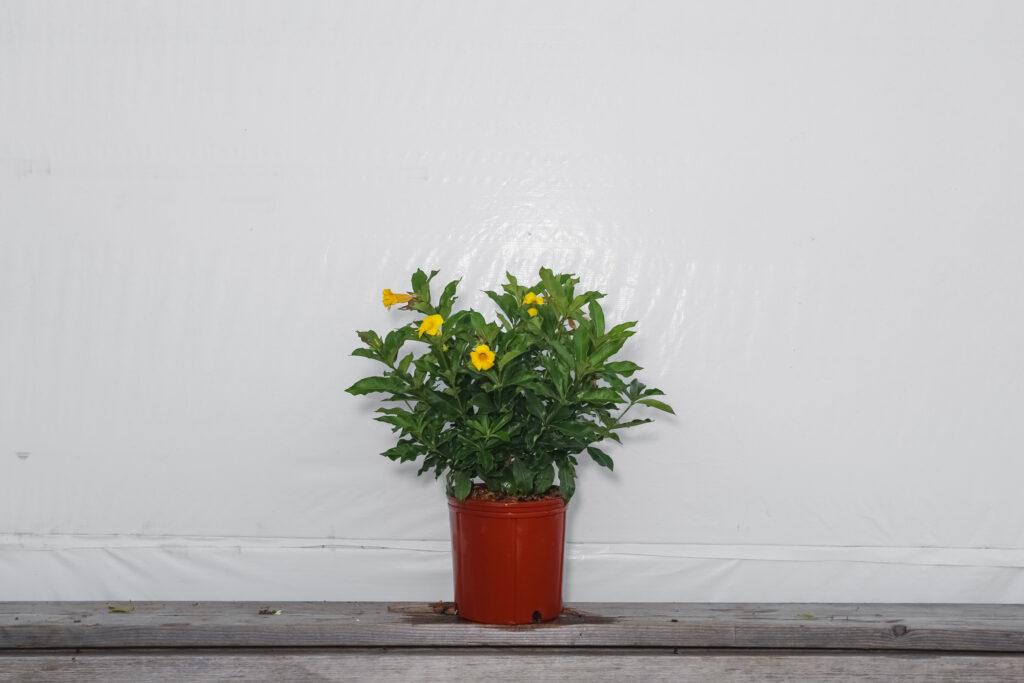 Allamanda Bush Plant