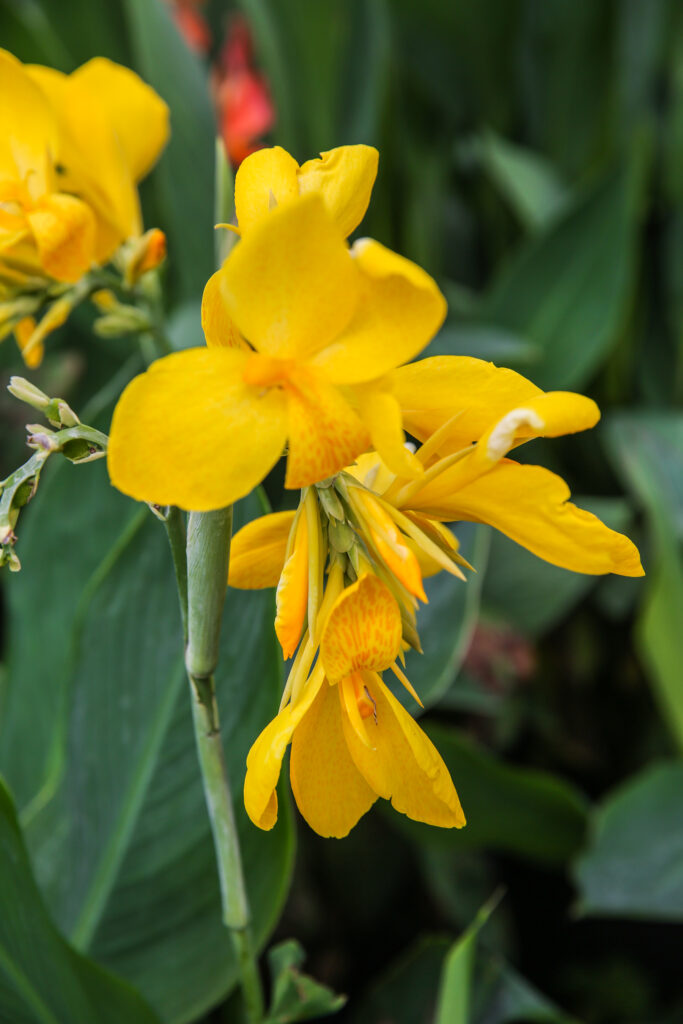 Canna Lily Yellow