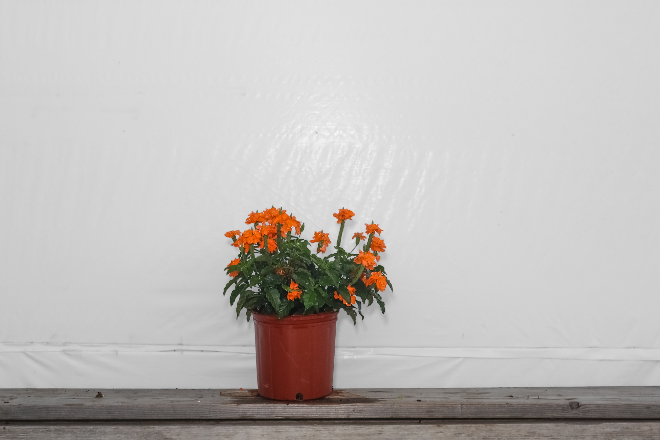 Crossandra Orange Marmalade 3 Gallon