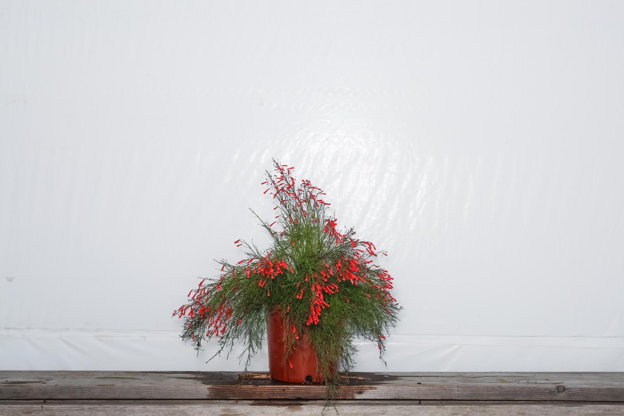 Firecracker Bush Red 3 Gallon