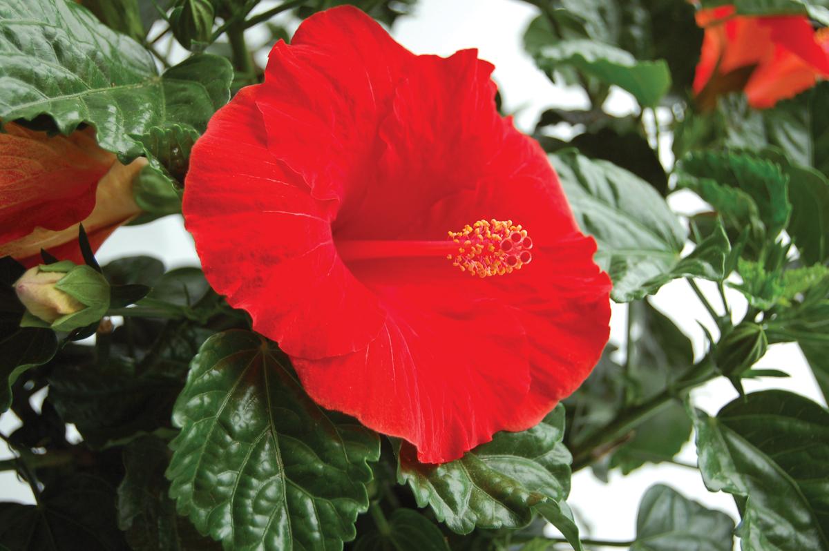 Yoder Dwarf Hibiscus Red Tortuga Wind 1 Gallon