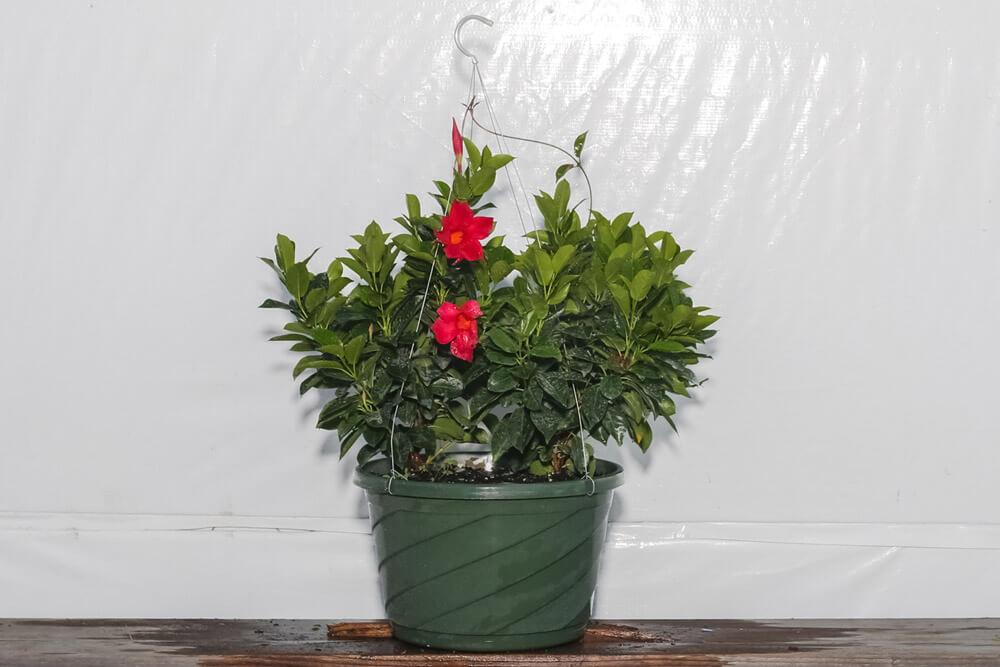 Dipladenia Red Hanging Basket