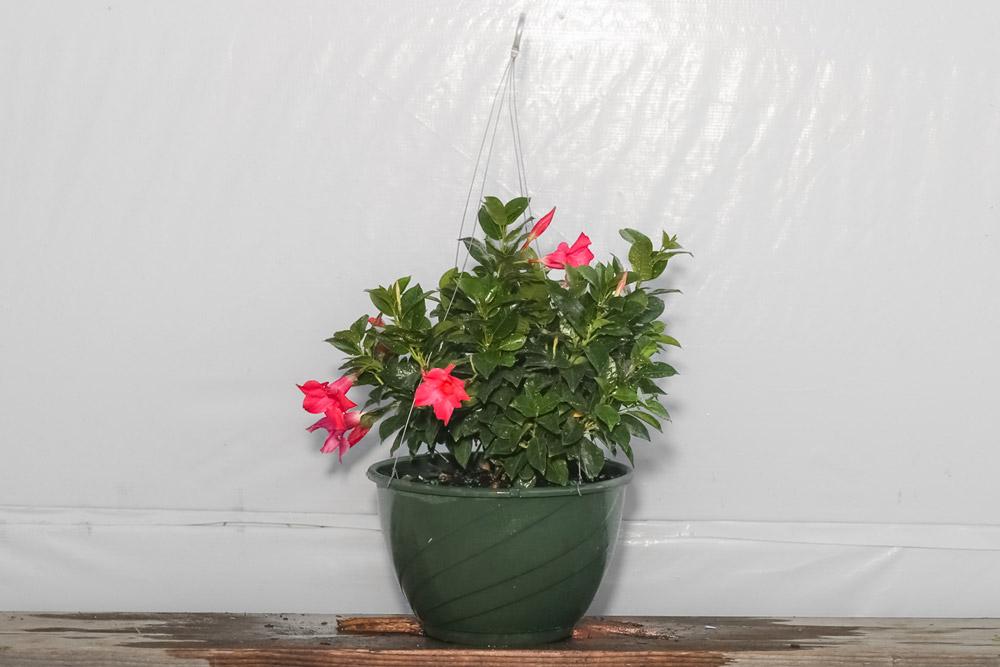 Dipladenia Pink Hanging Basket