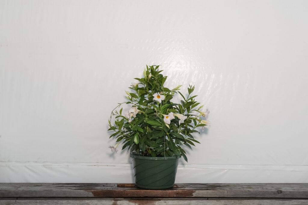 Dipladenia White Hanging Basket